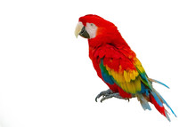 Macaw Parrot Isolated On White...