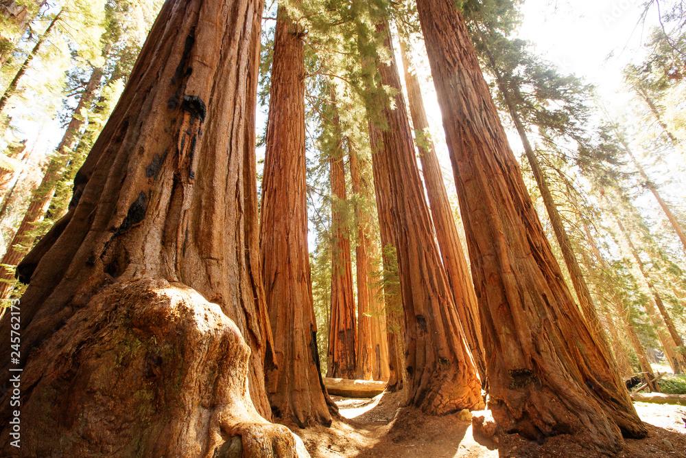 Fototapety, obrazy: Sunset in Sequoia national park in California, USA