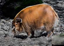 Red River Hog. Latin Name - Potamochoerus Porcus
