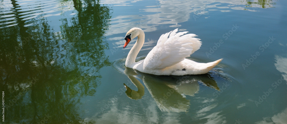 A beautiful white swan on the lake. Wide photo