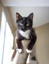 Black And White Tuxedo Kitten ...