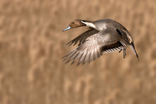 Northern Pintail - Duck