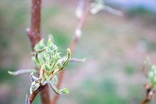 Small Green Buds And Blossoms ...