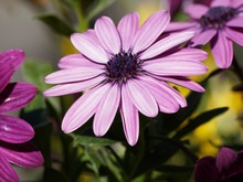 Dimorphotheca Ecklonis -  Cape Marguerite Or African Daisy With A Dark Blue Center And Purple Pink Petals