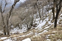 雪解けのブナ林