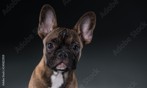 Cadres-photo bureau Bouledogue français Eine Bulldogge schaut in die Kamera