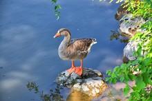 Ducks (Anatidae) Swimming And ...