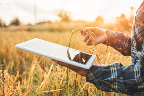 Fototapeta Smart farming Agricultural technology and organic agriculture Woman using the research tablet and studying the development of rice varieties in rice field obraz