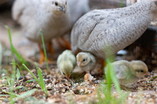 Silver King Quail Baby New Baby Life