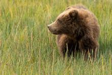 Brown Bear Cub Feeding In Meadow;  Kenai Fjords National Park;  Alaska