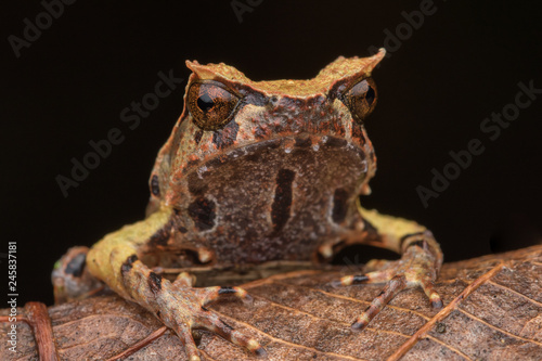 In de dag Kikker close up image of a Borneo horned frog from Borneo on green leaves