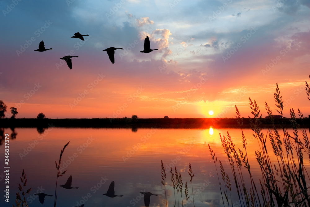 Fototapety, obrazy: Sunset Geese