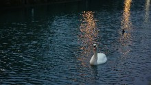 White Swan On The River Thames