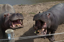 Two Hungry Hippos