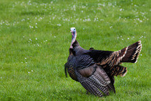 Male Turkey In Spring