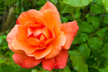 Raindrops On The Petals Of A Beautiful Orange Rose In The Summer Garden