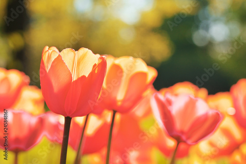 Photo  Group of colorful tulip