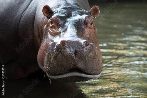 Canvas Print Hippopotamus