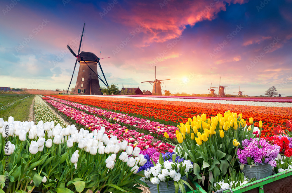 Fototapety, obrazy: Dramatic spring scene on the tulip farm. Colorful sunset in Netherlands, Europe.