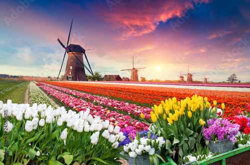 Tuinposter Tulp Dramatic spring scene on the tulip farm. Colorful sunset in Netherlands, Europe.
