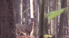 Whitetail Doe Deer On A Cool Fall  Morning Running From Bucks