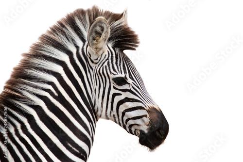 Photo sur Aluminium Zebra Zebra