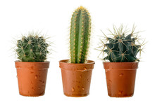 Set Of Three Cactuses In A Plastic Pot, Side View, Isolated On White Background.