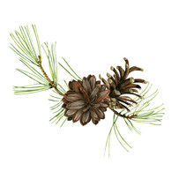 Pine Cone Drawing In Watercolor