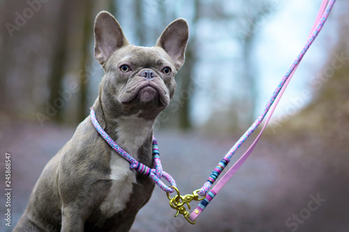 Staande foto Franse bulldog Lilac brindle female French Bulldog dog with light amber eyes wearing a selfmade woven collar and lash in front of blurry forest background