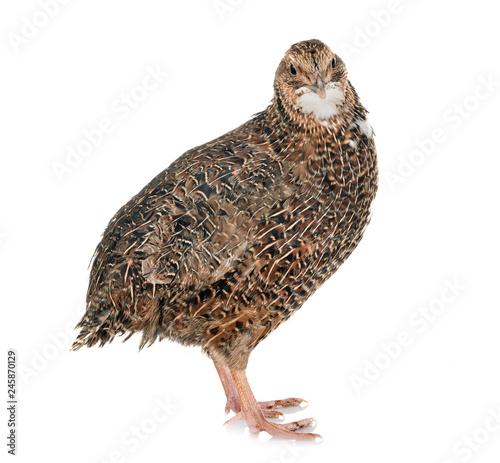 Fotografía Japanese quail in studio