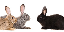 Portrait Of Three Rabbits Sitting Together Isolated On White Background
