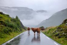 Rree Range Cattle On A Mountain Road In Norway Scandinavia -  Road Hazard Concept