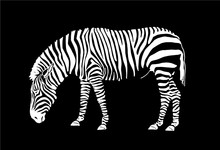 Graphical Zebra Isolated On  B...