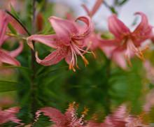 Pink Lily Flowers Closeup Refl...