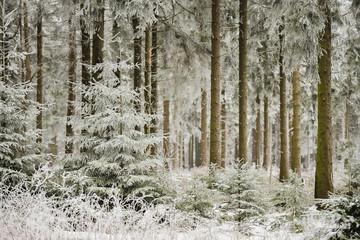 Fototapeta Inspiracje na zimę Blick in den verschneiten Fichtenwald auf dem Meißner