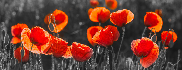 Fototapeta Do kuchni natural composition of red poppies, selective color, only reds and blacks
