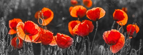 Obraz natural composition of red poppies, selective color, only reds and blacks - fototapety do salonu