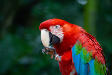 Red Parrot Scarlet Macaw, Ara Macao, Bird Sitting On The Branch.