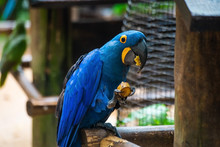 Hyacinth Macaw. The Blue And Y...