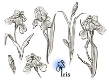 Iris Flowers In The Style Of Engraving.  Ink, Pencil, Black And White Iris Flowers Sketch. Freehand Sketching Vector Illustration.