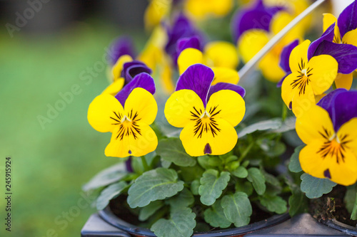 Papiers peints Pansies Pretty colourful violet and yellow flowers of garden pansy seedlings (Viola tricolor) in small pots on sale in garden centre