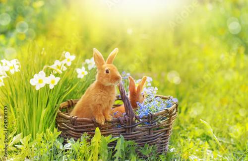 Fotomural red rabbits in basket outdoor