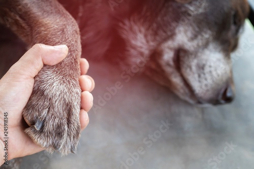 Fotografering  owner petting his dog, Hands holding paws dog are taking shake hand together while he is sleeping or resting with closed eyes