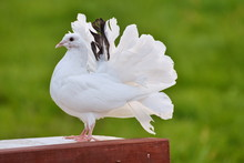 White Race Pigeons,dove In Grass