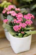 Potted Pink Kalanchoe Blossfeldiana Plant On The Desk.