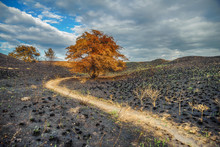 Yellow Tree Stands On Scorched...