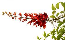 Bright Red Flowers Of Erythrin...