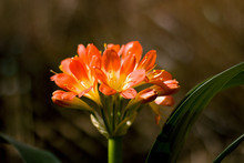 Orange Clivia Miniata(Bush Lily)
