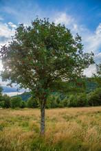 Wild Rowan Tree