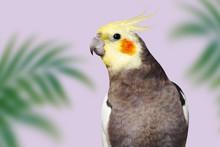 Adult Male Pretty Cockatiel On...
